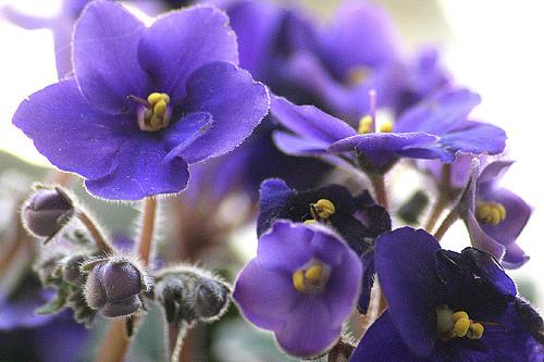 Dicas de como Cuidar de Violetas para Dar Flores
