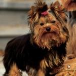 racas-de-cachorros-yorkshire-3