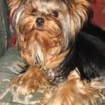 racas-de-cachorros-yorkshire-4