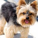 racas-de-cachorros-yorkshire-5