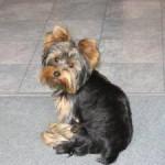 racas-de-cachorros-yorkshire-6
