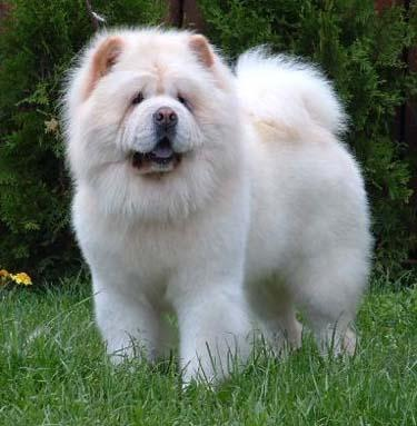 cachorro-chow-chow-4