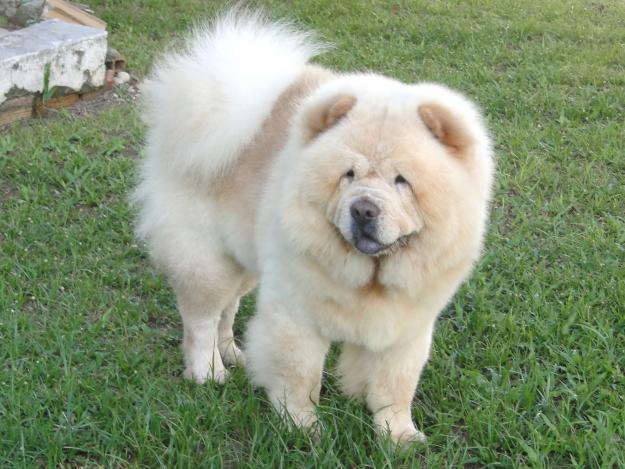 Ver fotos do cachorro chow-chow
