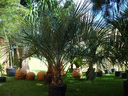 decoracao-de-jardins-com-coqueiros-3
